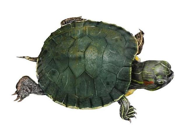 乌龟水陆生活为什么不是两栖动物而是爬行动物
