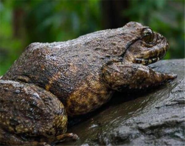 石蛙一种养殖两栖动物 石蛙价格和养殖技术介绍