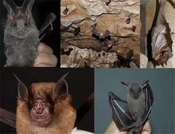 蝙蝠传播冠状病毒?自带数百种病毒的蝙蝠为何自身不发病