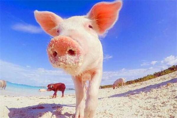 奥斯沙巴岛猪