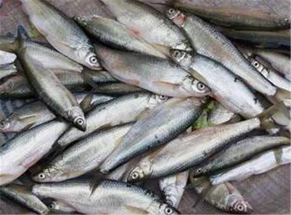 如何钓白条鱼 白条鱼最大可以长到多重