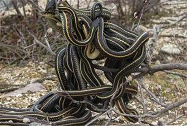 蛇是胎生还是卵生 蛇繁殖一次能有多少