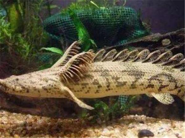 鳄鱼恐龙王鱼多少钱一只 鳄鱼恐龙王怎么养