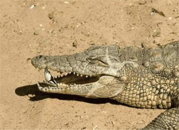 鳄鱼的皮肤为什么凹凸不平 鳄鱼与牙签鸟的关系