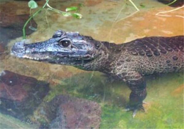 非洲侏儒鳄多少钱一只 非洲鳄鱼的尾巴有什么功能