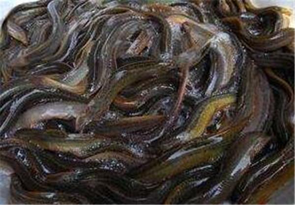 抓泥鳅的方法和要点 捉泥鳅最简单的土方法