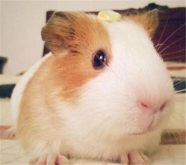 宠物鼠的种类有哪些 宠物鼠有没有病毒