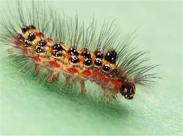 被毛毛虫蛰了怎么办 哪种毛毛虫有毒