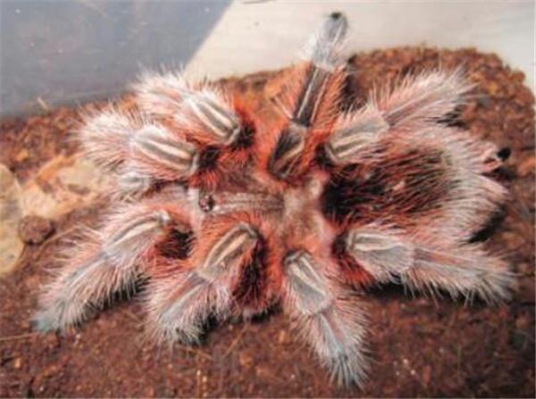 智利火玫瑰有毒吗 智利火玫瑰蜘蛛怎么养