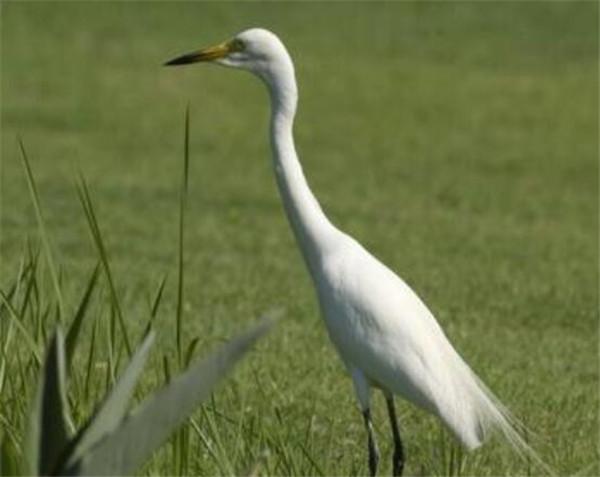 中白鹭是什么鸟 中白鹭有多大分布在哪里