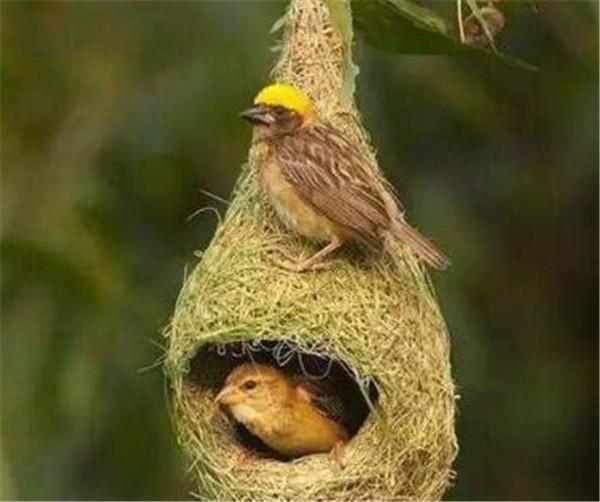 夜莺鸟有多大吃什么 夜莺代表什么象征意义