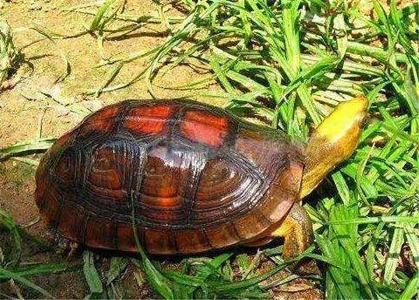 断板龟多少钱一斤 断板龟的功效与作用