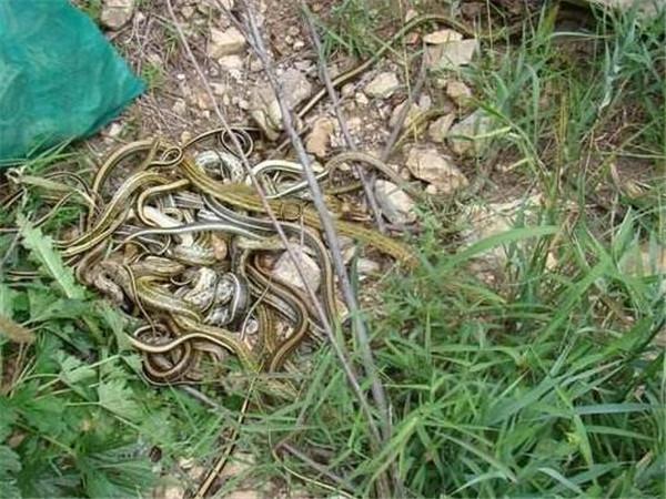 放生蛇的10种功德 放生蛇需要注意什么